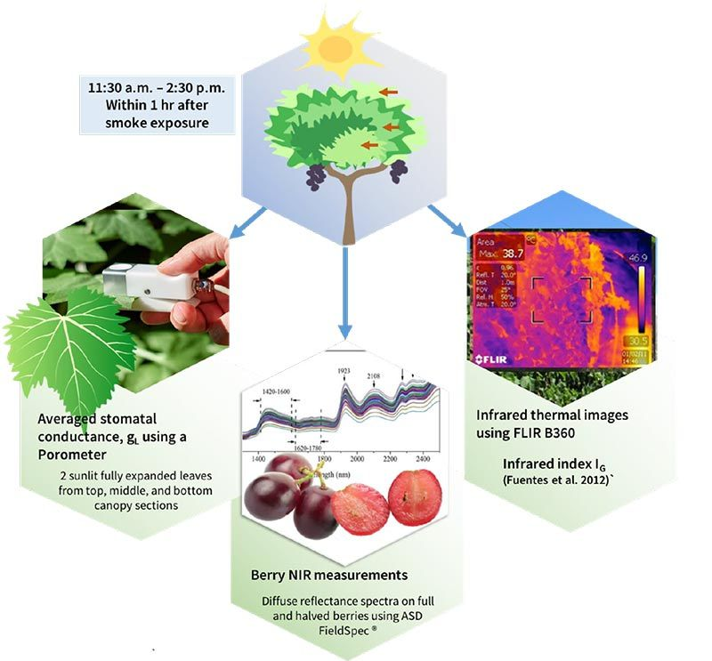 Top block shows vine with fruit. The three images below indicate what inputs feed the machine learning algorithm that determines if the grapes were contaminated by smoke. They are: (Left) Canopy measurements using a Porometer, (Middle) Grape NIR measurements, and (Right) Infrared thermal images.